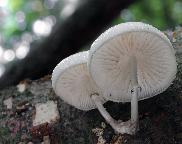 Slizečka porcelánová Oudemansiella mucida