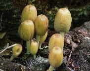 hnojník domácí - Coprinellus domesticus