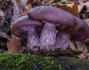 Čirůvka fialová - Lepista nuda