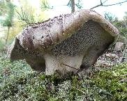 Lošák jelení - Sarcodon imbricatus