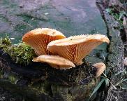 Hlíva hnízdovitá - Phyllotopsis nidulans